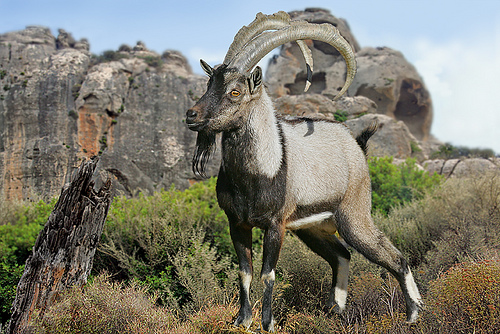 Ibex hunting at wild islands in Greece